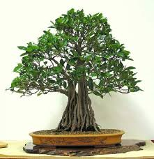 mi primer bonsai Descar10