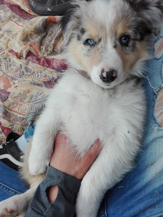 chiot - Chiot 10 semaines agressif 18402110