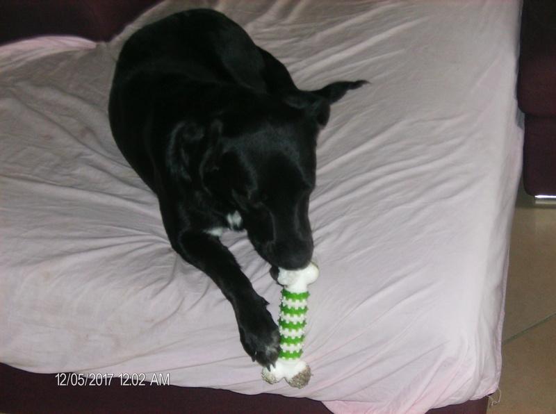 MAX (Labrador noir) Hpim1117