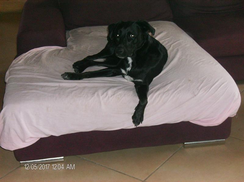 MAX (Labrador noir) Hpim1120