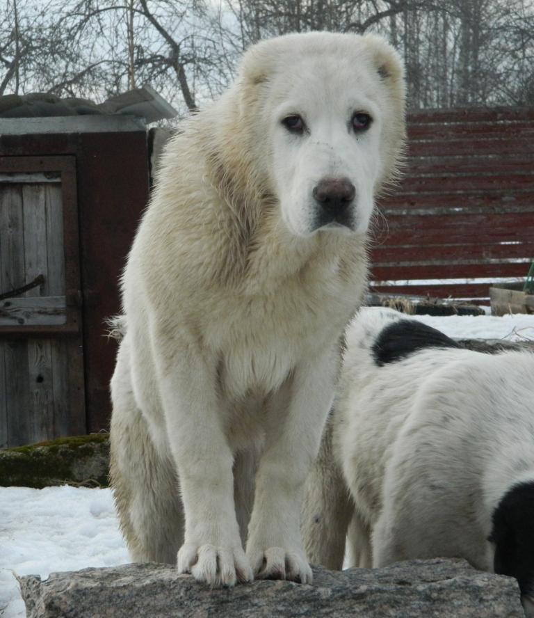Клуб Памир продаются щенки туркменского алабая (срочно) Dscn2911