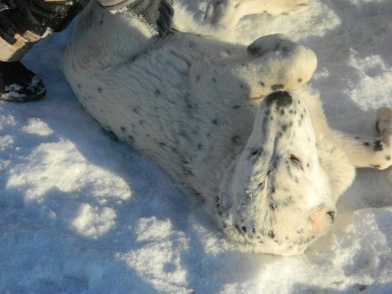 Клуб Памир продаются щенки туркменского алабая (срочно) Uaeeza19