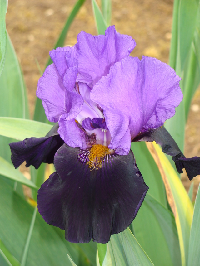 identifications d 'Iris 127_111