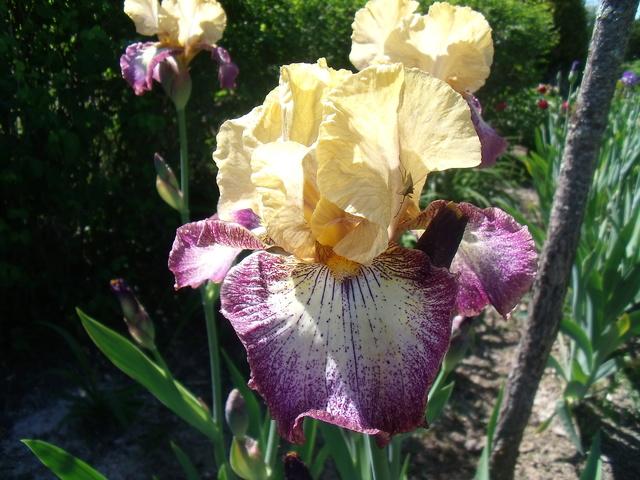identifications d 'Iris 13710