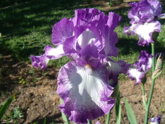 identifications d 'Iris Gedc7411