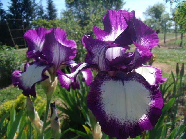 identifications d 'Iris Gedc7414