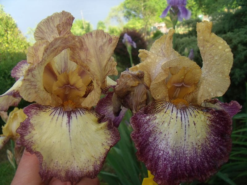identifications d 'Iris Gedc7422