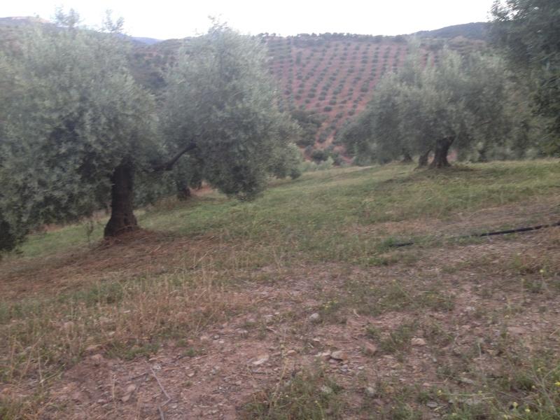 Duda con hierba cortada alta (Jaén) 01210