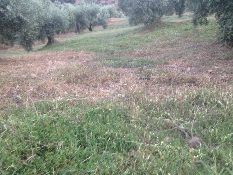 Duda con hierba cortada alta (Jaén) 01310