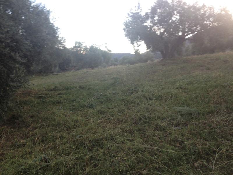 Duda con hierba cortada alta (Jaén) 01410