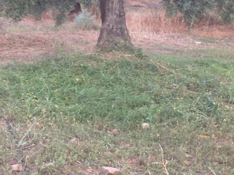 Duda con hierba cortada alta (Jaén) 01610