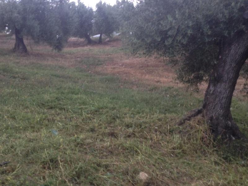 Duda con hierba cortada alta (Jaén) 01810