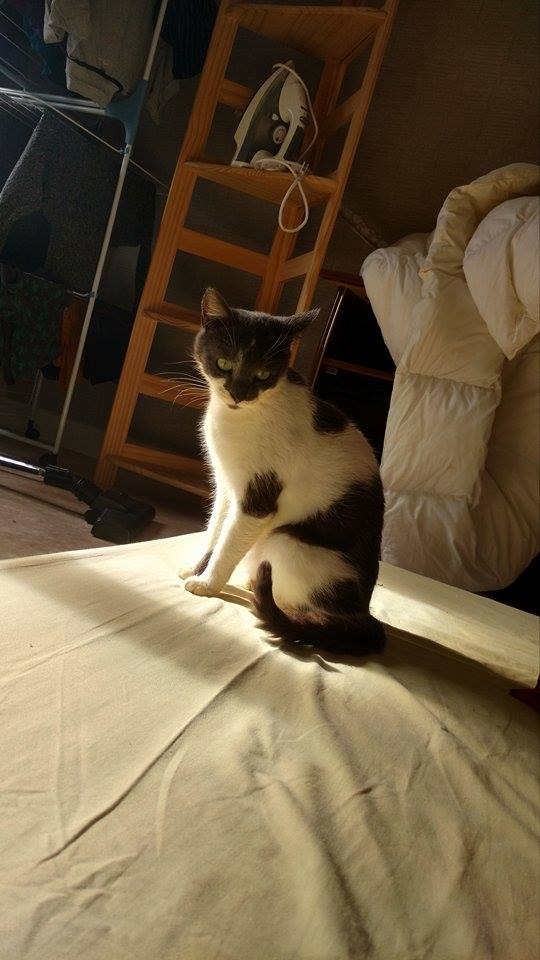 manon - MANON, jeune chatte européenne, Grise&blanche, née en mai 2016. 17740910