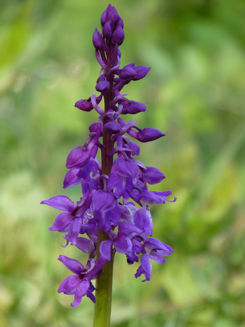 nettoie un terrain : préserver les orchidées P1210911
