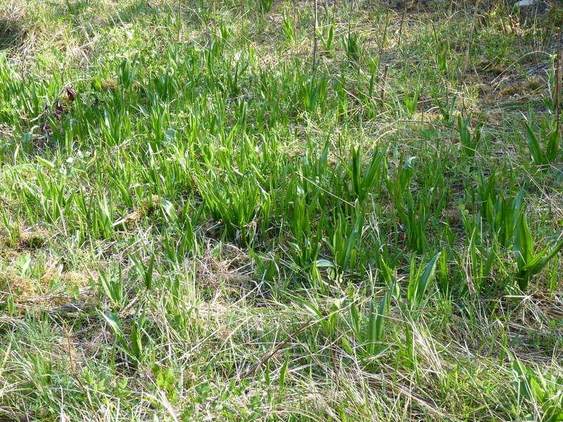 nettoie un terrain : préserver les orchidées P1210918