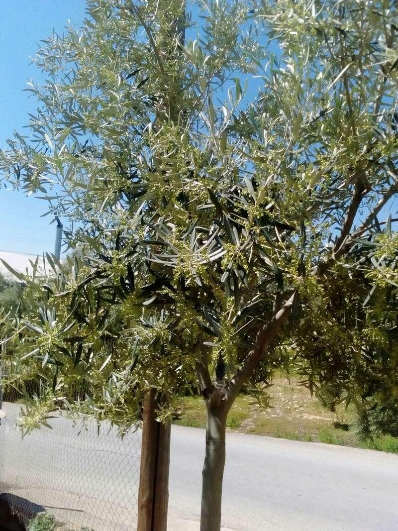 Crecimiento de plantones olivo - Página 10 00910