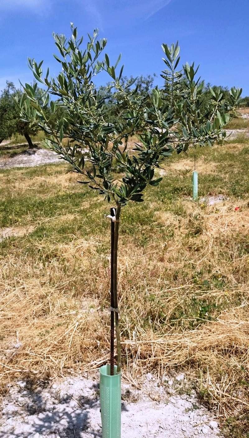 Crecimiento de plantones olivo - Página 10 01011