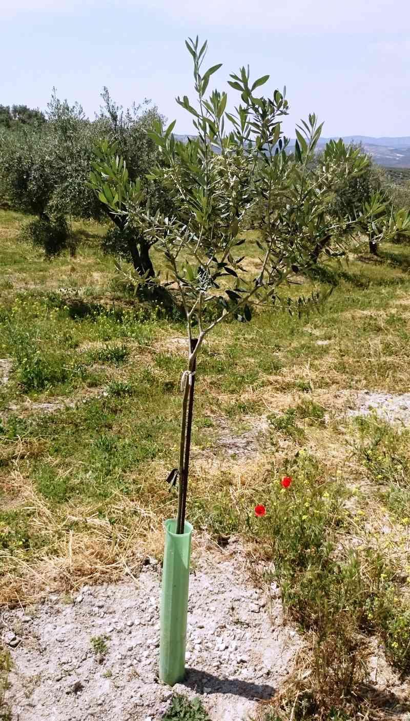 Crecimiento de plantones olivo - Página 10 01111