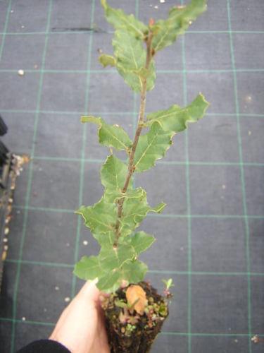 primo bonsai, aiuto!! come lo tratto? Quercu10