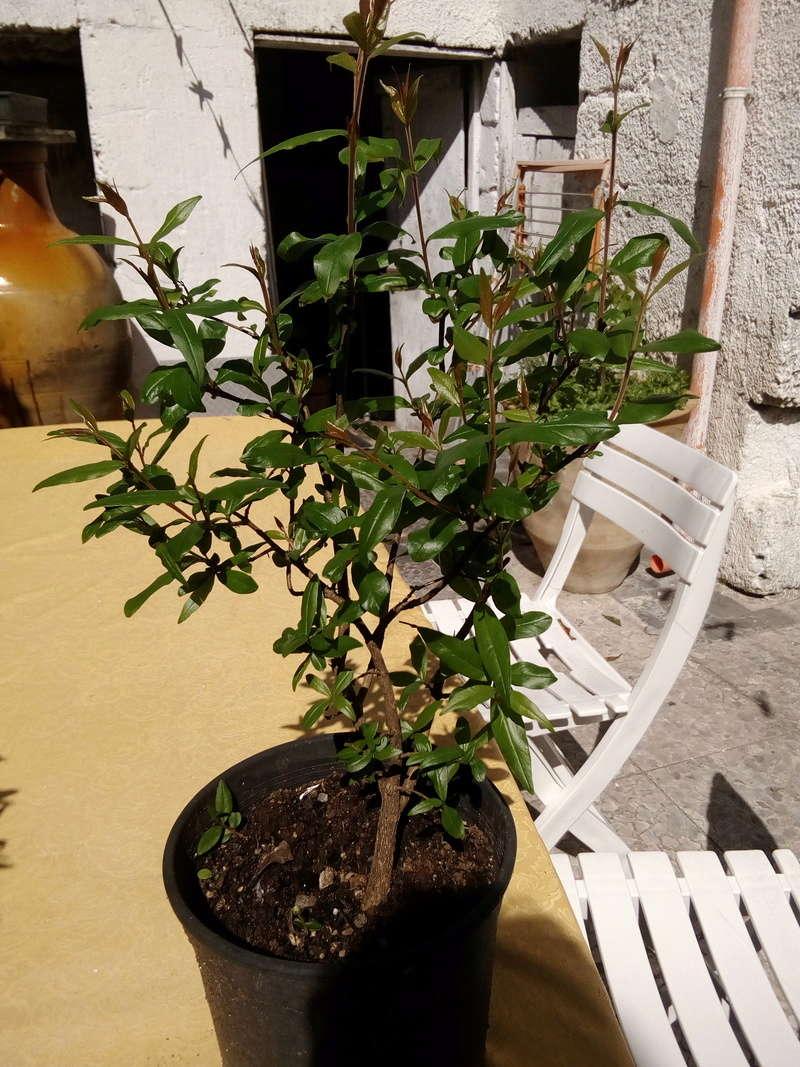 presentazione - I miei primi due bonsai Bonsai15