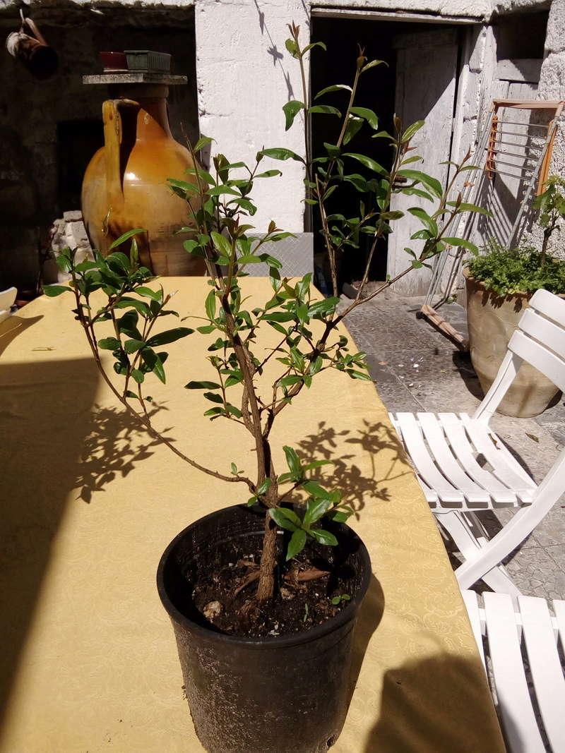 presentazione - I miei primi due bonsai Bonsai16