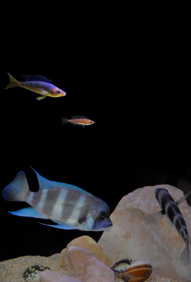 Mi acuario de Frontosas Enligh11
