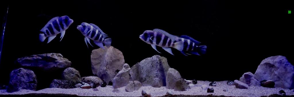 Mi acuario de Frontosas Img_0032