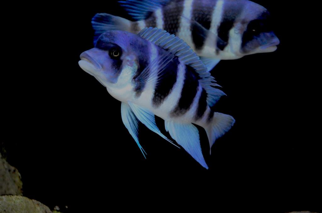 Mi acuario de Frontosas Img_0034