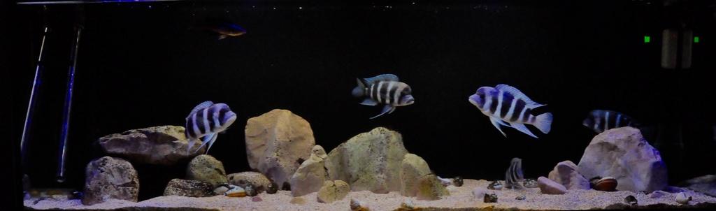 Mi acuario de Frontosas Img_0035