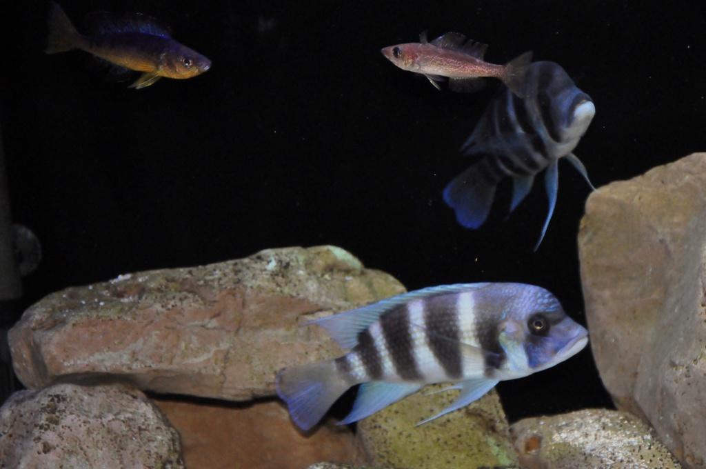 Mi acuario de Frontosas Img_0039