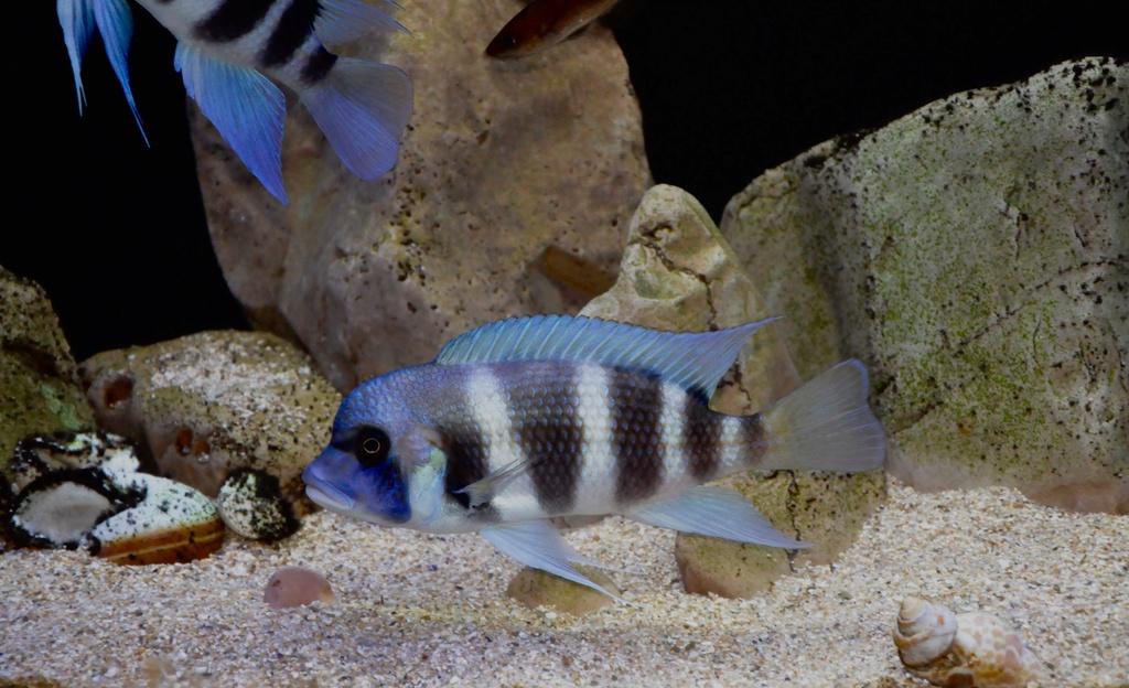 Mi acuario de Frontosas Img_0041