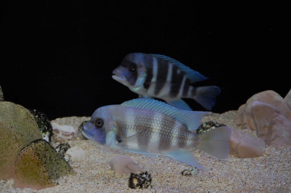 Mi acuario de Frontosas Img_0042