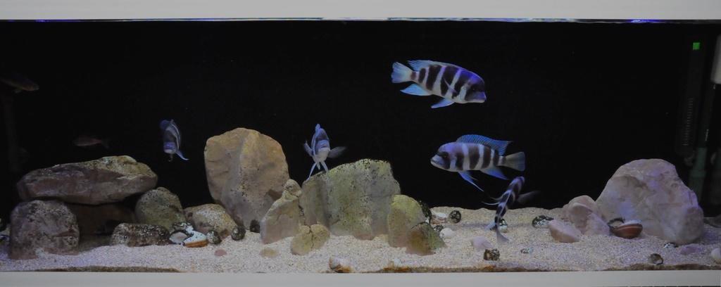 Mi acuario de Frontosas Img_0043