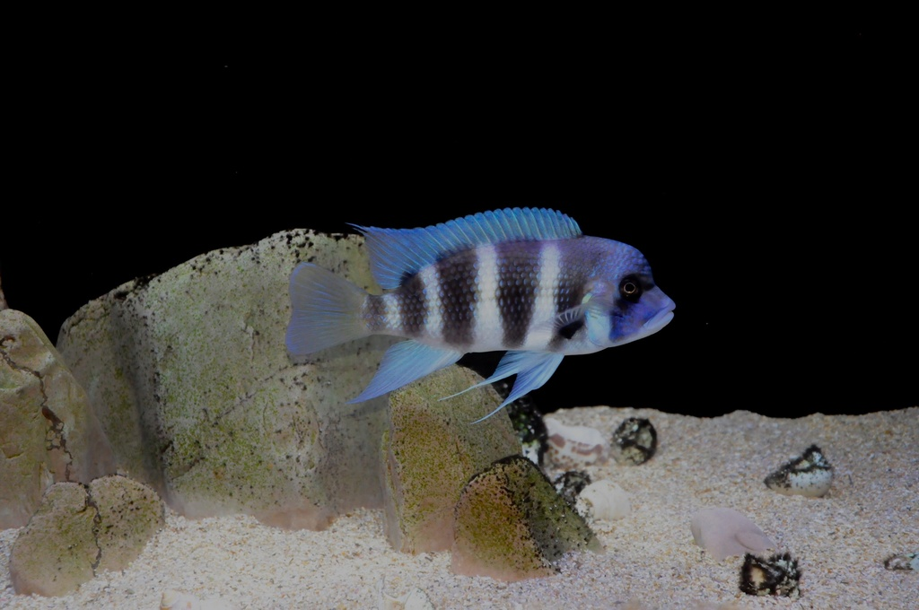 Mi acuario de Frontosas Img_0044