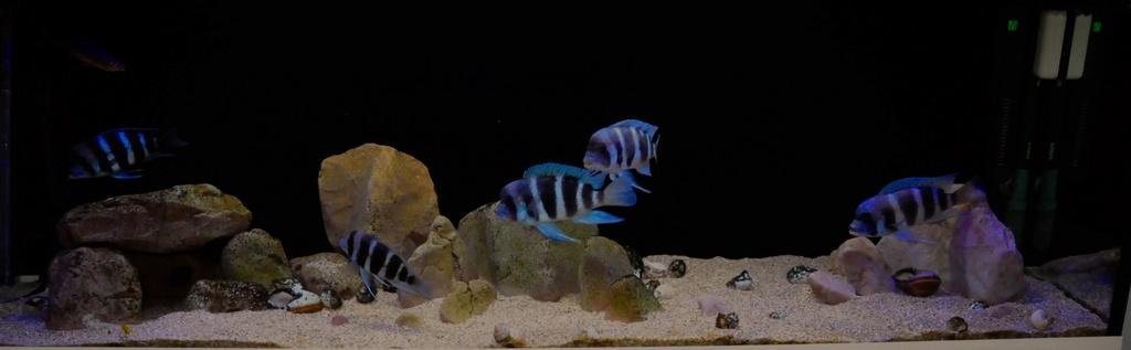 Mi acuario de Frontosas Img_0046