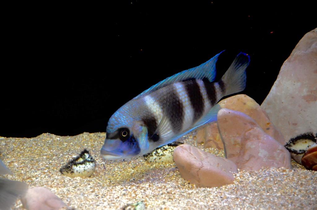 Mi acuario de Frontosas Img_0047