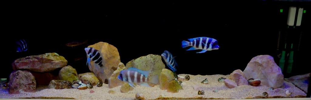 Mi acuario de Frontosas Img_0048
