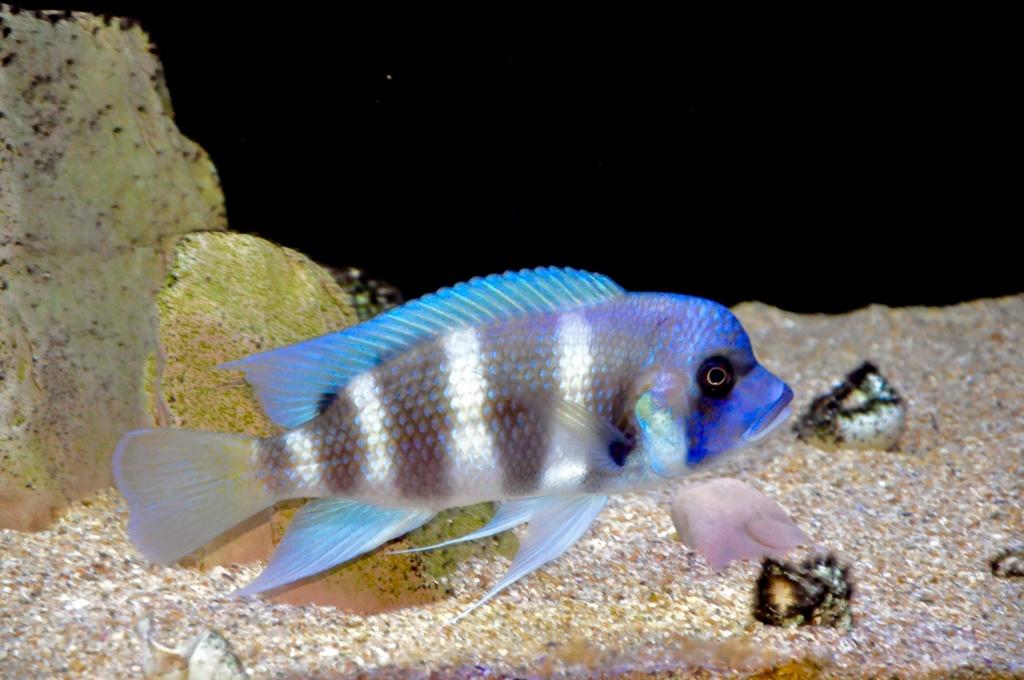 Mi acuario de Frontosas Img_0049