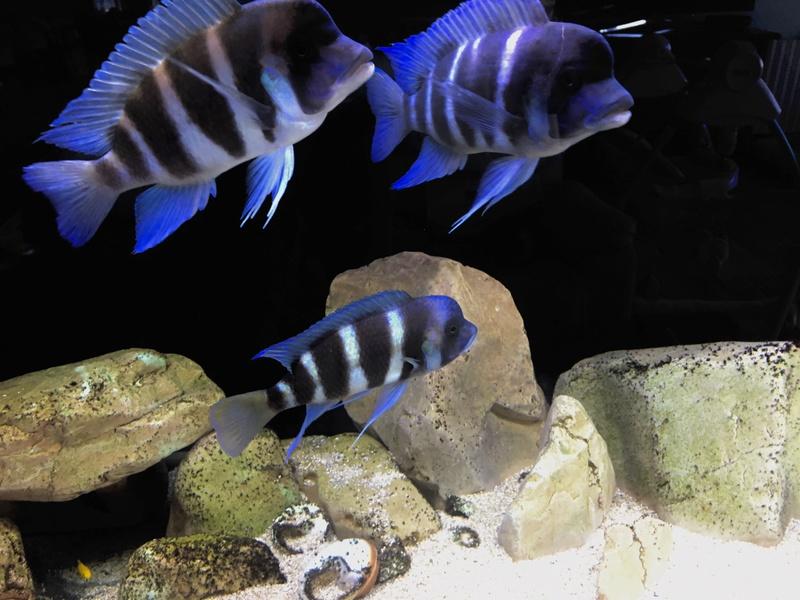 Mi acuario de Frontosas Img_2411