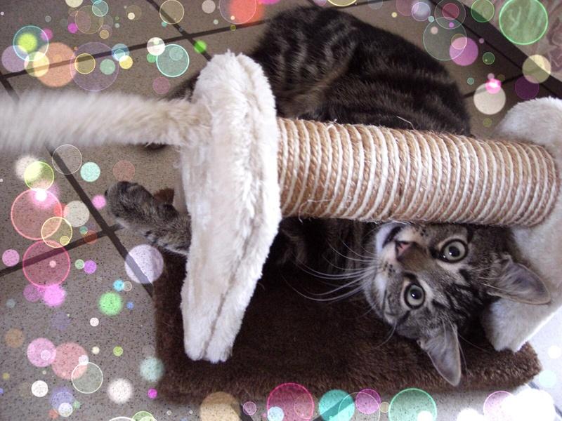 TIGROU, chat tigré né le 1er août 2016 20170410