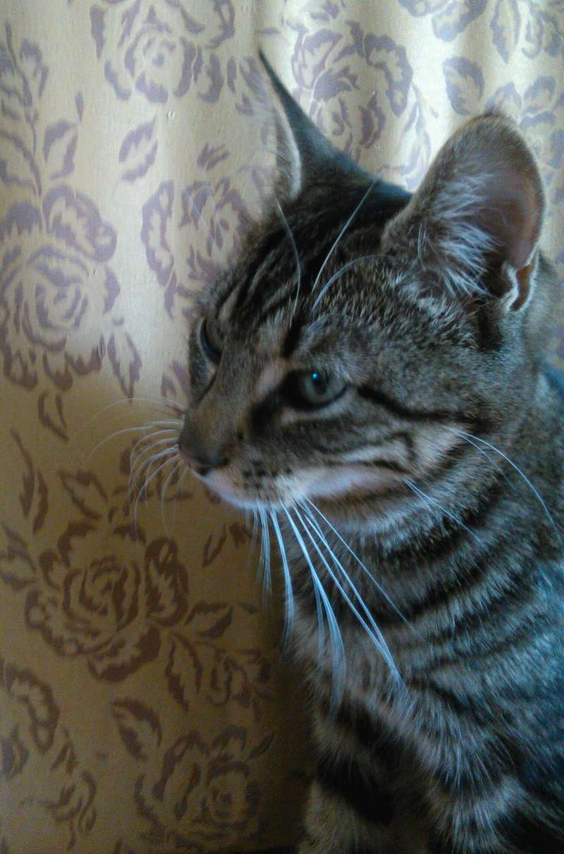 TIGROU, chat tigré né le 1er août 2016 Img_2019