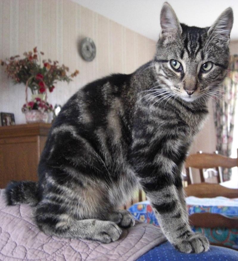 TIGROU, chat tigré né le 1er août 2016 Tigrou10