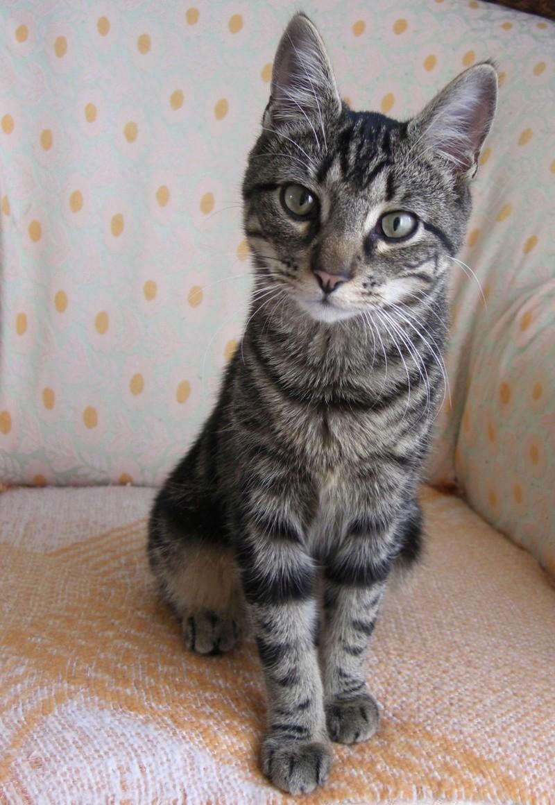 TIGROU, chat tigré né le 1er août 2016 Tigrou11