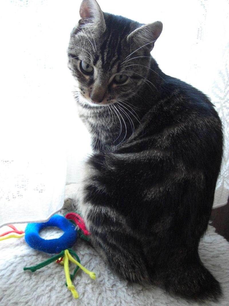 TIGROU, chat tigré né le 1er août 2016 Tigrou12