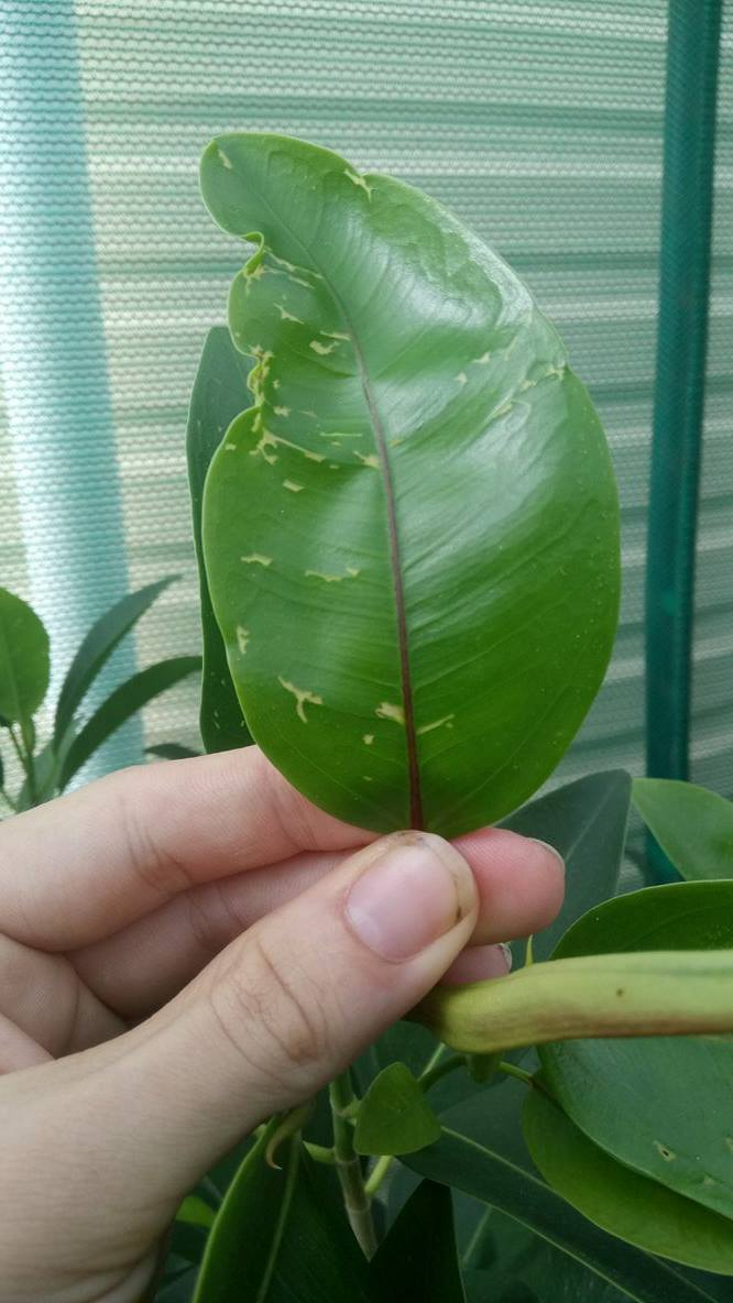 Ficus- new leaves getting discoloured patches 110