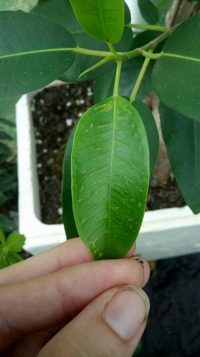 Ficus- new leaves getting discoloured patches 310