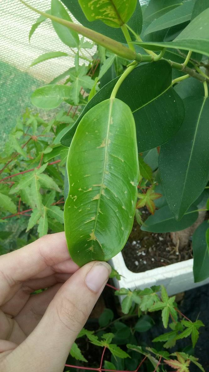 Ficus- new leaves getting discoloured patches 410