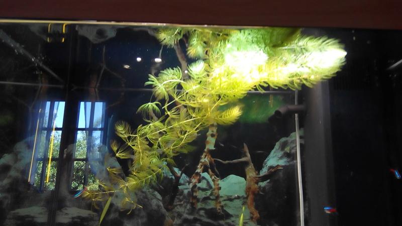 Ceratophyllum Demersum Algue11