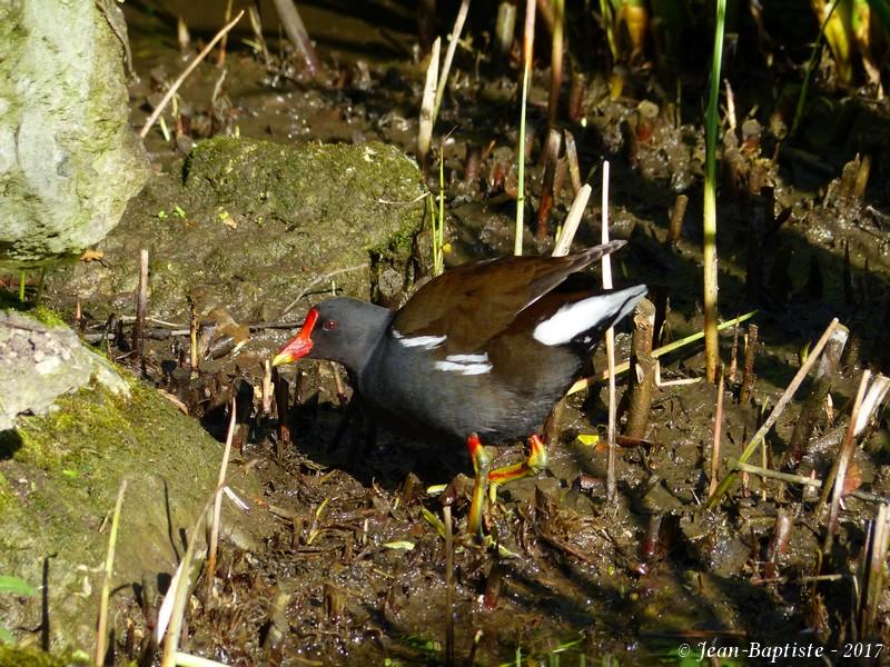 [France- Charente] Gallinule poule d'eau P1730310