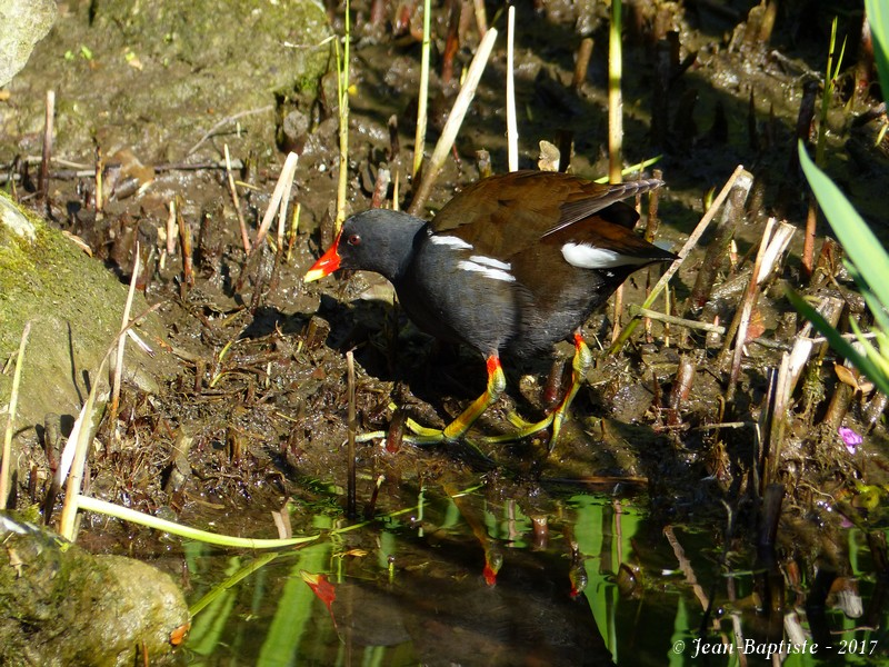 [France- Charente] Gallinule poule d'eau P1730311